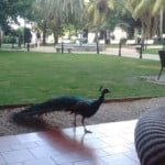 Peacock in the National Hotel